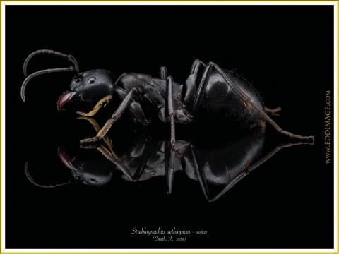 Streblognathus-aethiopicus-worker-8Smith-F.-1858