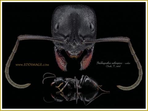 1_Streblognathus-aethiopicus-worker-10Smith-F.-1858