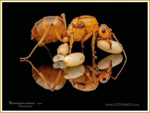 Myrmecocystus-mexicanus-queen-2Wesmael-1838