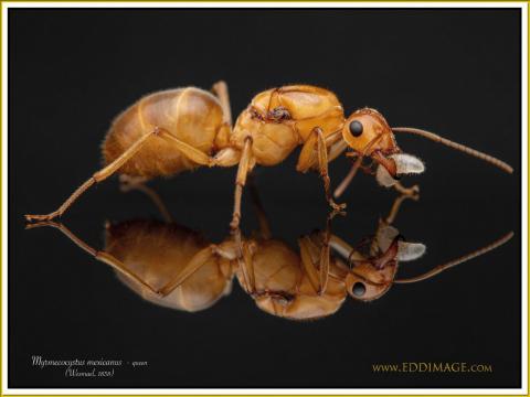 Myrmecocystus-mexicanus-queen-5Wesmael-1838