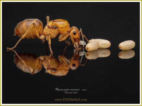 Myrmecocystus-mexicanus-queen-6Wesmael-1838