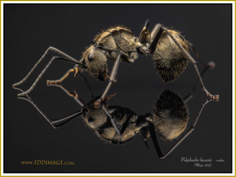 Polyrhachis-beccarii-worker-3Mayr-1872