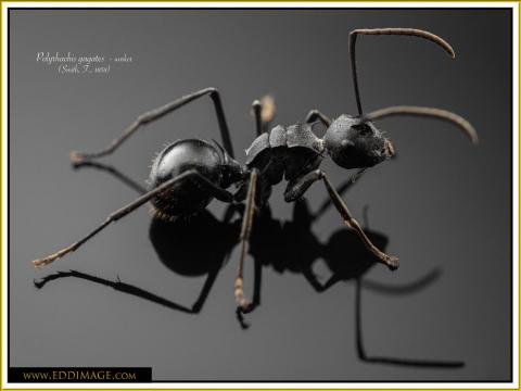 Polyrhachis-gagates-worker-2Smith-F.-1858