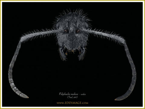 Polyrhachis-medusa-worker-1Forel-1897