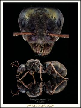 Iridomyrmex-purpureus-queen-Smith-1858