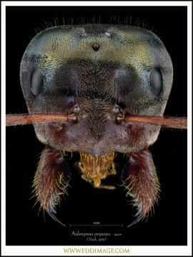 Iridomyrmex-purpureus-queen-2Smith-1858