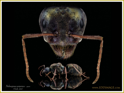 Iridomyrmex-purpureus-queen-poster-verSmith-1858