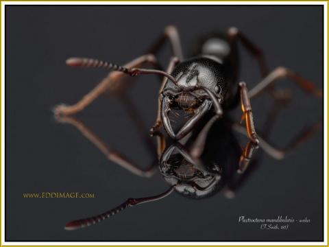 Plectroctena-mandibularis-worker-F.Smith-185