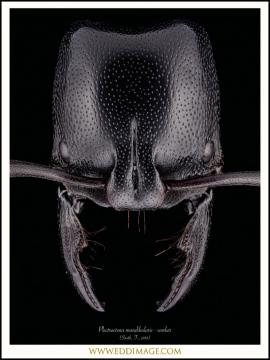 Plectroctena-mandibularis-3-F.Smith-185