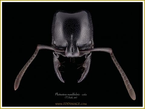 Plectroctena-mandibularis-5-F.Smith-185