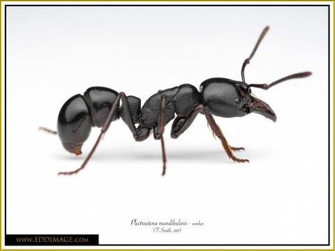 Plectroctena-mandibularis-worker-4F.Smith-185