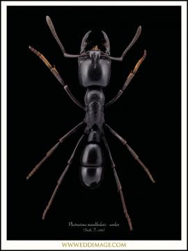 Plectroctena-mandibularis-4-F.Smith-185