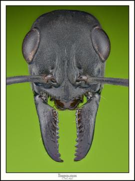 Neoponera-verenae-2Forel-1922