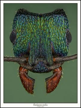 Rhytidoponera-metallica-Smith-1858
