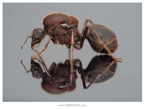 Atta-texana-Buckley-1860-queen-5