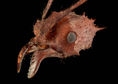 leaf-cutter ant [Acromyrmex echinatior] - Costa Rica1
