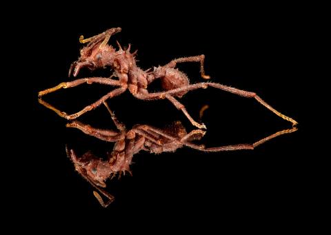 leaf-cutter ant [Acromyrmex echinatior] - Costa Rica2