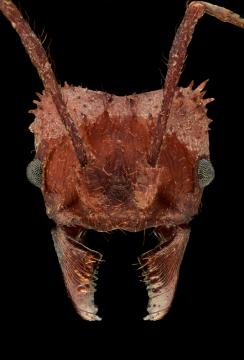 leaf-cutter ant [Acromyrmex echinatior] - Costa Rica3