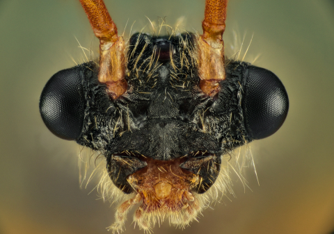 arboreal trap-jawed ant [Daceton armigerum] male - Northern South America-2