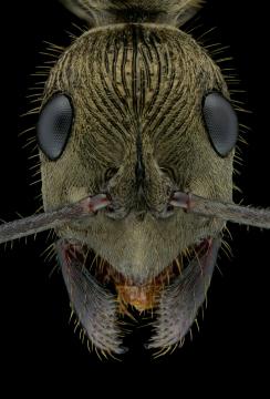 queenless ant - [Diacamma rugosum] - Borneo