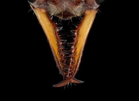 red bull ant [Myrmecia gulosa] - Australia-3