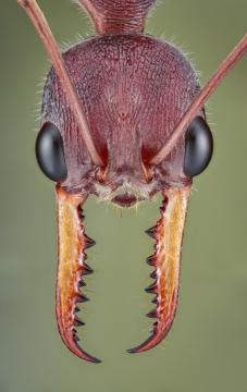 red bull ant [Myrmecia gulosa] - Australia-7