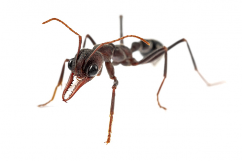 bull ant [Myrmecia pyriformis] - Australia copy 2