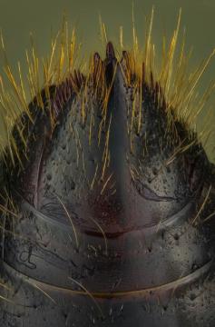 bullet ant [Paraponera clavata] Nicaragua-5