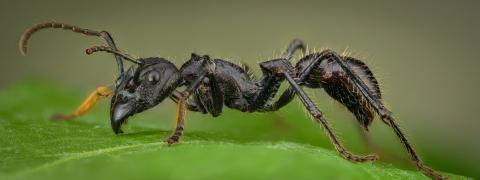 bullet ant [Paraponera clavata] Nicaragua-8