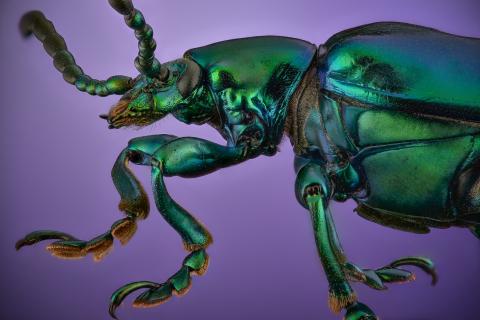 green leaf beetle [Sagra femorata]