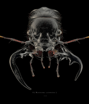 Manticora latipennis - South Africa