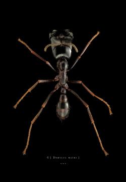 Dorylus mayri - Ivory Coast-3