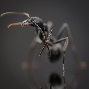 Aphaenogaster-senilis-Italy-2