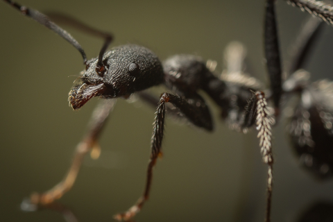 Aphaenogaster-senilis-Italy-3