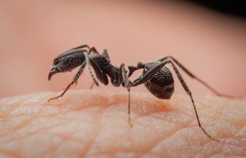 Aphaenogaster-senilis-Italy-7
