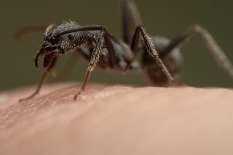 Aphaenogaster-senilis-Italy-16