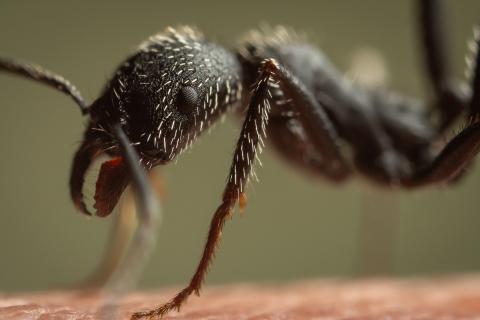 Aphaenogaster-senilis-Italy-20