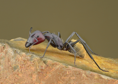 Camponotus-hybrid-South-Africa2