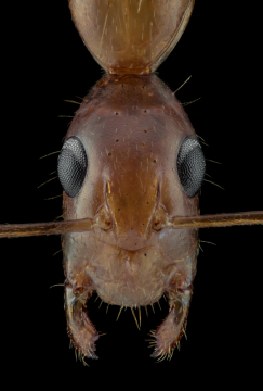 1_Camponotus-maculatus-Africa-2