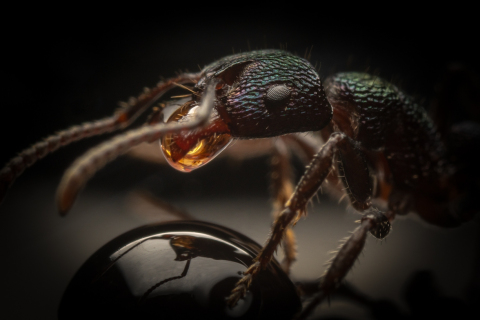 Rhytidoponera-metallica-Australia-7