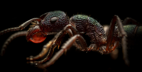 Rhytidoponera-metallica-Australia-9