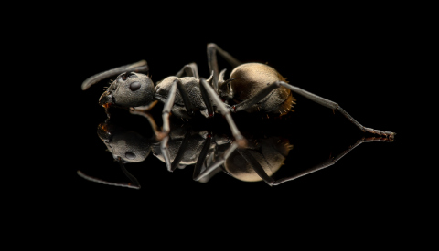 Polyrhachis-dives-Philipines