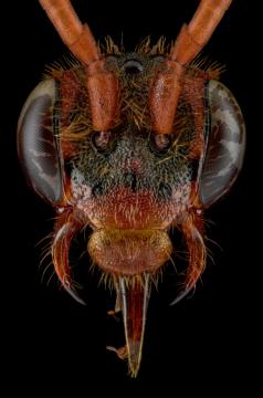 cockoo-bee-Nomada-flava-UK-3