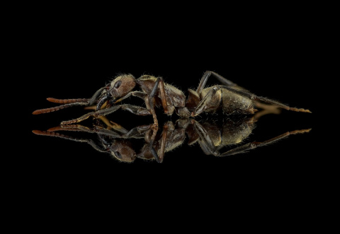 hairy-panther-ant-Neoponera-villosa-Texas-3