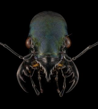 Pseudoxycheila-bipustulata-Tingo-Maria-Peru-3