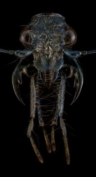 Pogonostoma-sp.-Madagascar-2