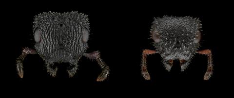 Cataulacus-granulatus-queen