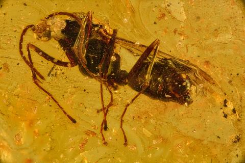 Pachycondyla-succinea- male - extinct-45million years