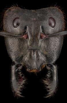 Dinomyrmex-gigas-major-worker-3
