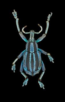 weevil-Eupholus-bennetti-Gestro-Papua-New-Guinea-2